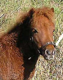 Image of our Shetland Pony Tirza